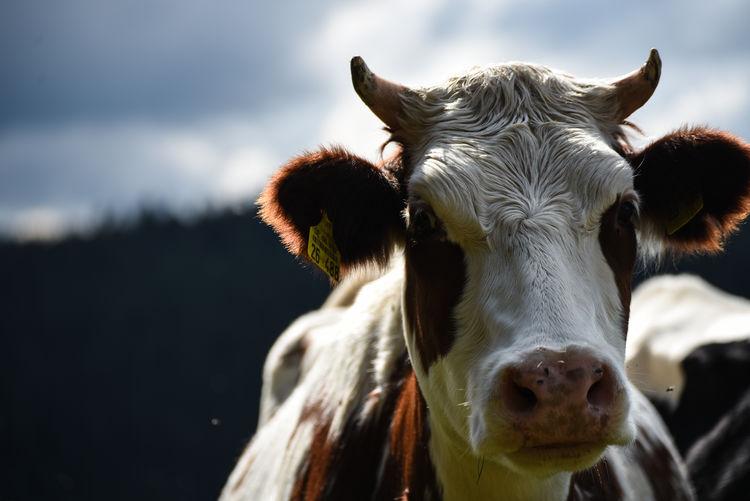 Close-up portrait of cow against sky