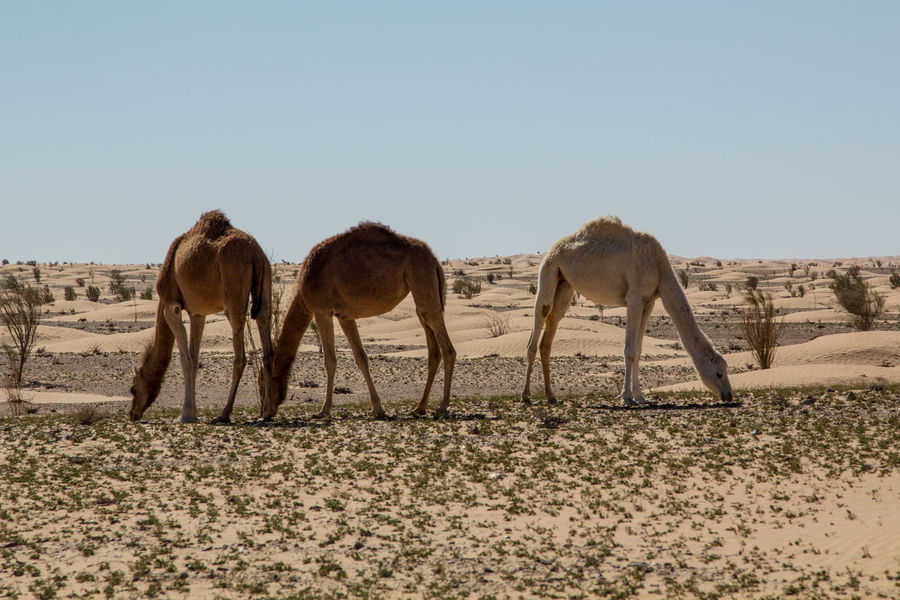 Adventure Animal Animal Themes Animals In The Wild Camel Clear Sky Day Desert Desert Landscape Dromedary Herd Mammal Nature Nature No People Off The Beaten Path Offroad Outdoor Outdoors Safari Animals Sahara Togetherness Tunisia White Dromedary Wildlife
