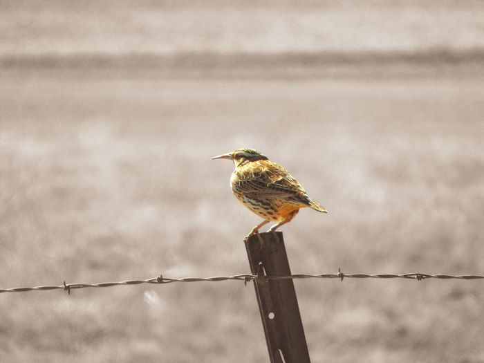Meadowlark perching on fence during sunny day