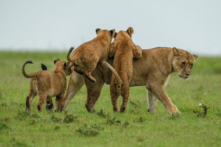 Three cubs jump on lioness in grass