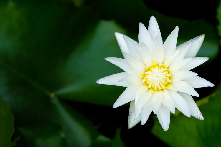 Close-up of white water lily blooming outdoors