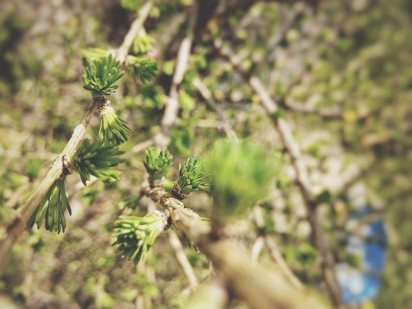 Larch Tree Larix Larix Decidua Needles New Green Nature Pattern Nature Textures Nature Texture Macro Nature Photography Spring Springtime Showcase April