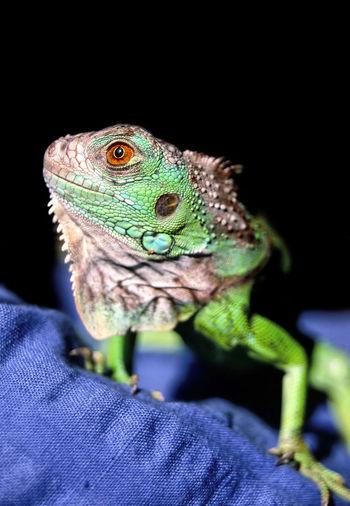 Grüner Leguan, Iguana iguana Black Echse Green Hautschuppen Iguana Iguana Iguana Jungtier Lizard Reptile Animal Themes Black Background Blau Blue Focus On Foreground Gecko Green Iguana Grün Grüner Leguan Juvenile Nature One Animal Reptile Schuppen Schuppenhaut Schwarz
