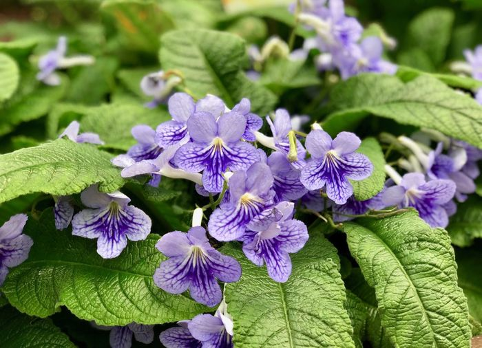 Flowering Plant Flower Plant Fragility Vulnerability  Plant Part Beauty In Nature Freshness Growth Leaf Petal Close-up Purple Flower Head Inflorescence Nature Green Color Botany No People