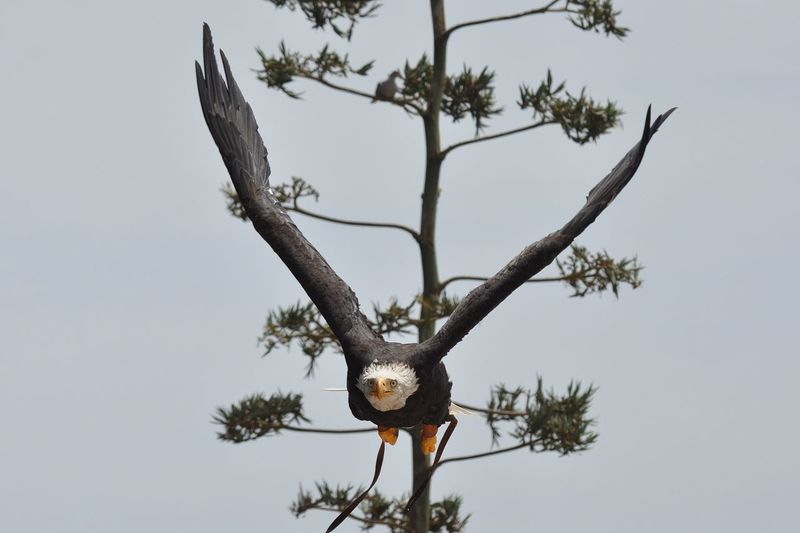 Bald Eagle shocked expression Bald Eagle Bird Of Prey Birds Eagle Hunter Predator Scared Face Shocked Face