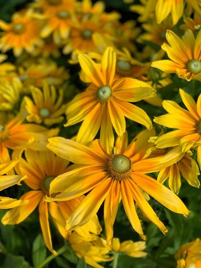Flowering Plant Flower Plant Freshness Beauty In Nature Fragility Growth Petal Yellow Flower Head Vulnerability  Nature Coneflower No People Inflorescence Close-up Green Color Focus On Foreground Day Pollen