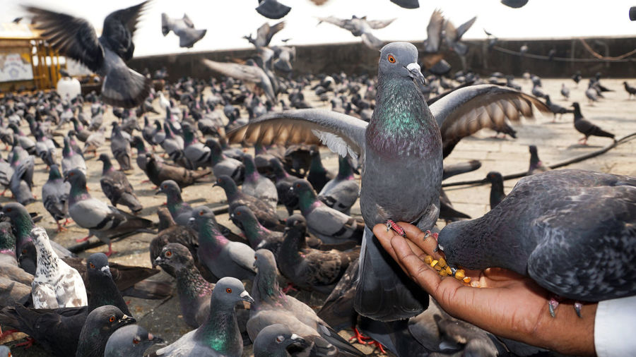Animal Wildlife Bird Animals In The Wild Vertebrate Large Group Of Animals Group Of Animals Feeding  Pigeon Day Real People Human Hand Hand Eating Human Body Part One Person Flock Of Birds Food Outdoors Finger A Gray Domestic Pigeon Eating Grains In The Hand Of Man Pigeon Eating Grains A Pigeon Seating In The Hand Of Man