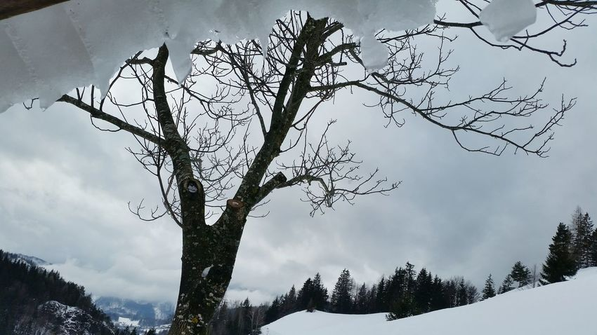 Winter Tree Snow Mountain Cold Temperature Pinaceae Forest Environment Branch Nature No People Landscape Outdoors Beauty In Nature Day Sky