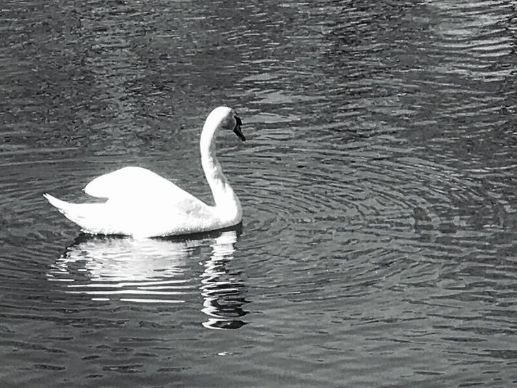 Solitare Animals In The Wild One Animal Swan Animal Themes Lake Bird Water Swimming Waterfront White Color Animal Wildlife Water Bird Day Nature Outdoors No People Beauty In Nature Goose Popular Photos Iphonephotography Scenics