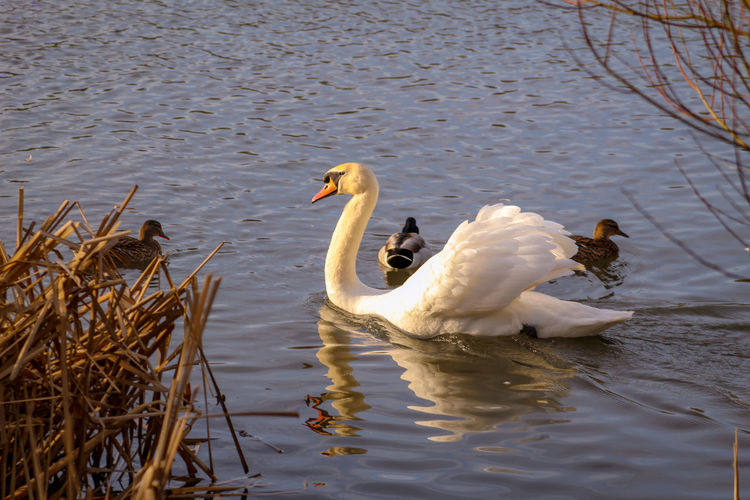 EyeEm Best Shots EyeEm Nature Lover EyeEmBestPics EyeEm Best Shots - Nature Beauty In Nature Wonders Of Nature Swimming Animal Feather  Reeds At The Lake Lakeside Malard Duck Male Animal Female Animal White Swans Mute Swan Swan
