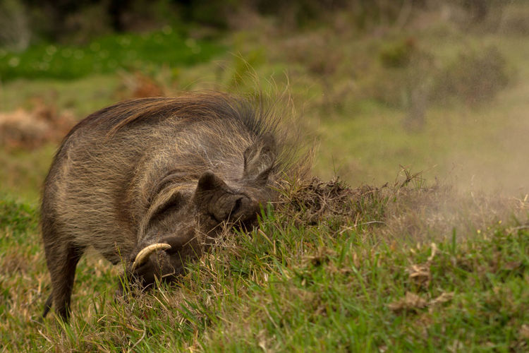 Close-up of warthog foraging on field