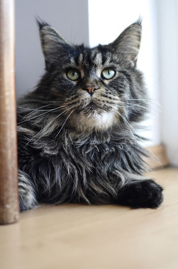 Amazed maine coon Alertness Amazed Animal Hair Animal Head  At Home Cat Close-up Domestic Animals Domestic Cat Feline Focus On Foreground Front View Grumpy Indoors  Looking At Camera Maine Coon Mammal No People One Animal Pets Portrait Surface Level Whisker Whiskers Zoology