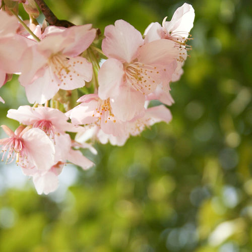 Flower Nature Plant Growth Beauty In Nature Fragility Flower Head Petal Beauty Close-up Blossom No People Springtime Freshness Day Outdoors Rhododendron 桜 河津桜 ピンク Pink Nature 花