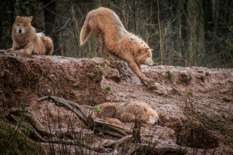Animal Wildlife Mammal Animals In The Wild No People Nature Day Wolf Wolf Pack WOlves Wolve Animal Themes Animal Animals Zoo Zoology Zoo Animals  Zoophotography ZOO-PHOTO Nature