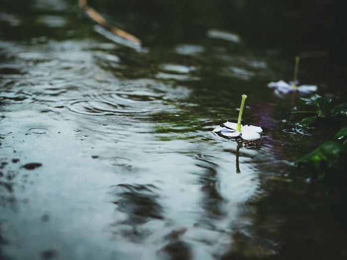 Flower floating on a lake