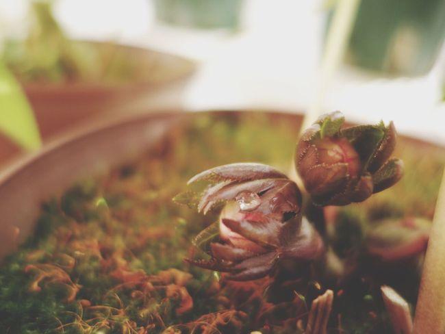 ヘレボさんももうすぐです Nature Plants Flower