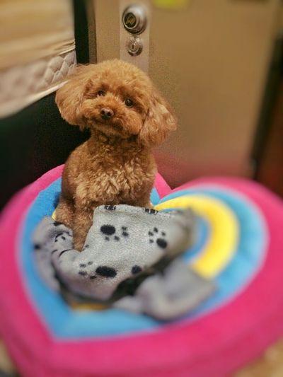 Good morning Poodle Toypoodl Toypoodles Poodles  Poodles! Poodlemania Poodle Love Poodle🐩