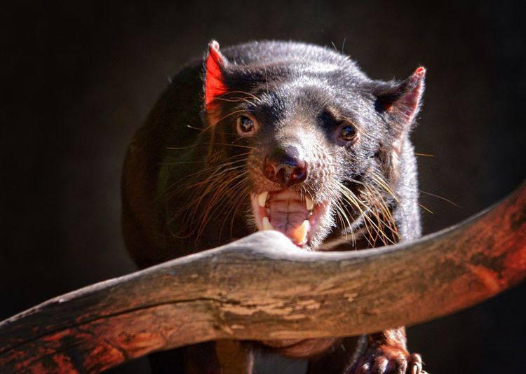 Close-up portrait of tasmanian devil against black background