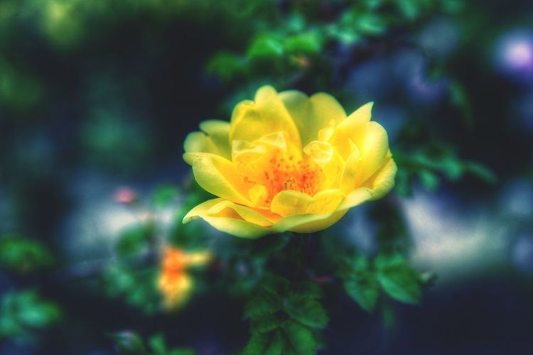 Roses🌹 Beauty In Nature Yellow Rose Flower Photography Garden Flowers Flowers, Nature And Beauty