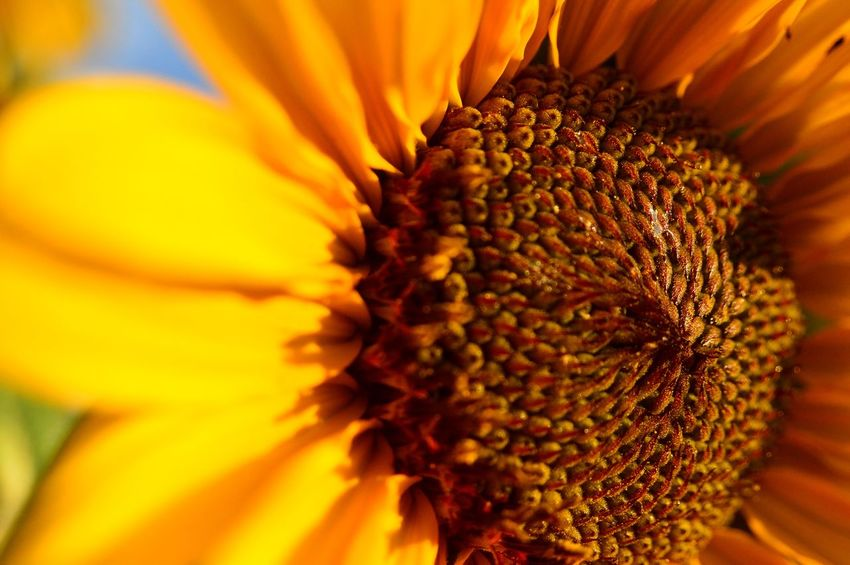 Sunflower close up Lusk Wyoming Pretty Yellow Pedals Hot Summer Standing Tall Sunny Afternoon Beauty In Nature