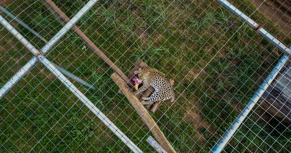 Animal Themes Cage Chainlink Fence Day Fence Leopard Leopards Mammal Nature No People One Animal Outdoors Protection Safety