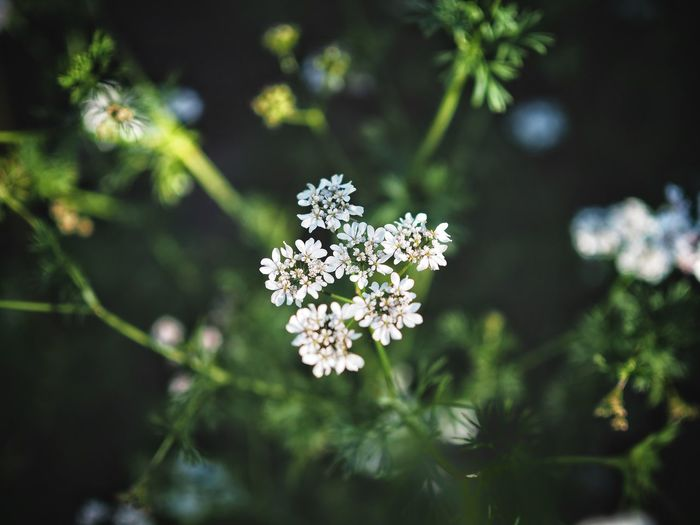 Coriander flowers Flower Nature Growth Beauty In Nature Focus On Foreground No People Fragility Plant Day Outdoors Blooming Freshness Flower Head Close-up Coriander Cilantro Chinese Parsley White Flower Delicate Cilantro Flower Coriander Flower