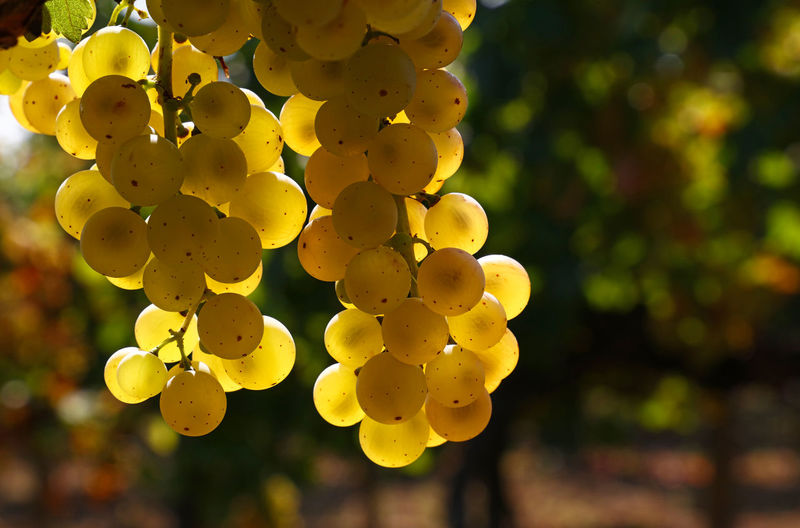 Close up of shinygolden ripe Autumn grape racemation bunches hanging in vineyard Agriculture Autumn Bunch Of Grapes Copy Space Freshness Golden Growth Hanging Shiny Abundance Bunch Close-up Crop  Day Focus On Foreground Fruit Grape Harvest Ripe Season  Vineyard Winemaking Yellow