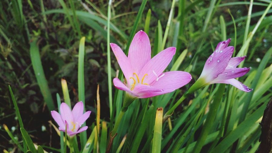 Close-up of pink crocus blooming outdoors