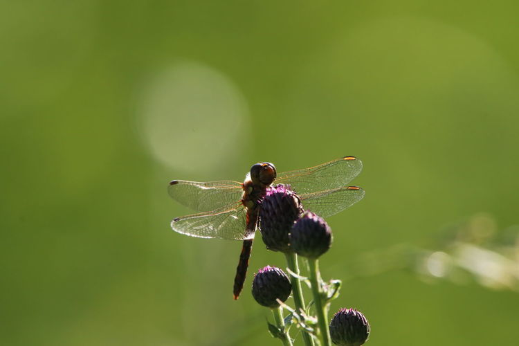 Close-up of dragonfly on purple flower