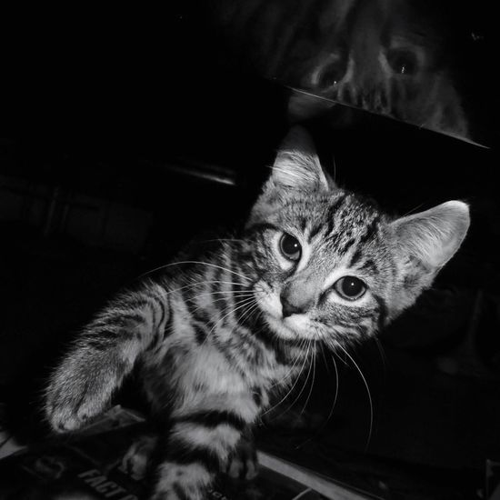 Mirror for Bnw_friday_eyeemchallenge Portrait Of A Cat in Blackandwhite The Portraitist - 2016 EyeEm Awards in Black And White my Kitten Loki Mirrored Animals Animism Blackandwhite Photography I Love My Cat OpenEdit Pet Portraits