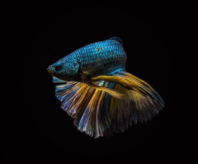 Close-Up Of Fish Against Black Background