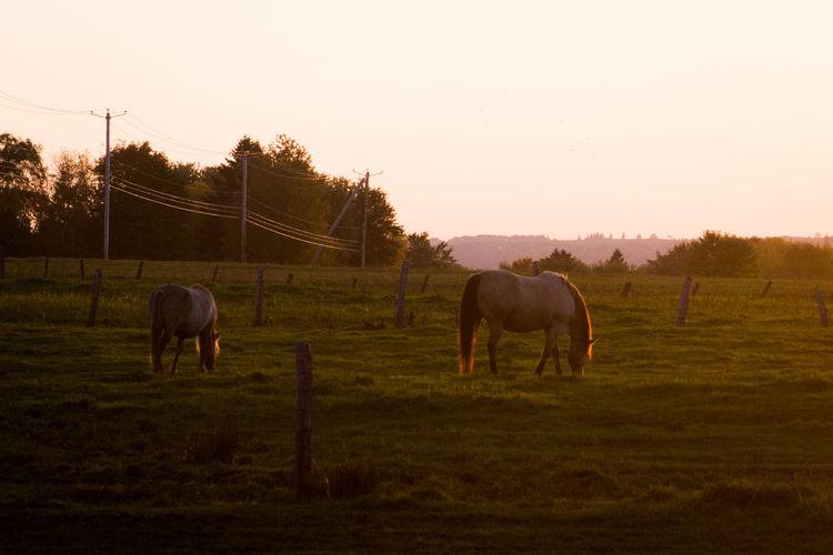 Animal Themes Grass Herbivorous Horse Landscape Mammal Pasture