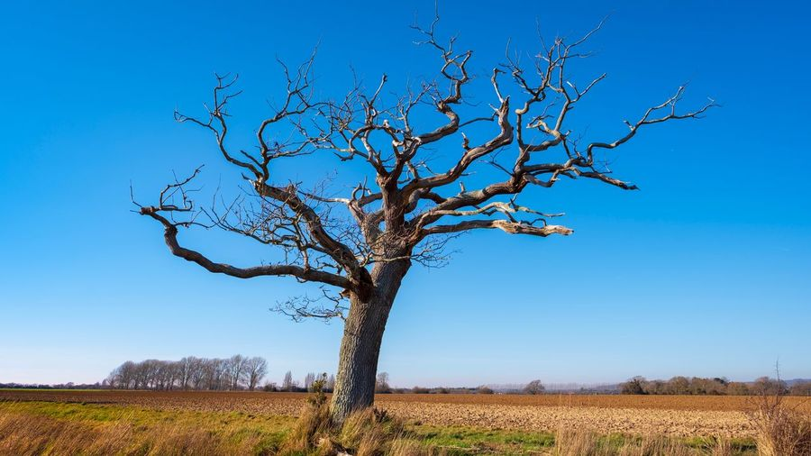 EyeEm Selects Plant Sky Tree Field Tranquility Nature Clear Sky Beauty In Nature Land Landscape Growth Day Blue Tranquil Scene Environment Scenics - Nature No People Bare Tree Branch Trunk