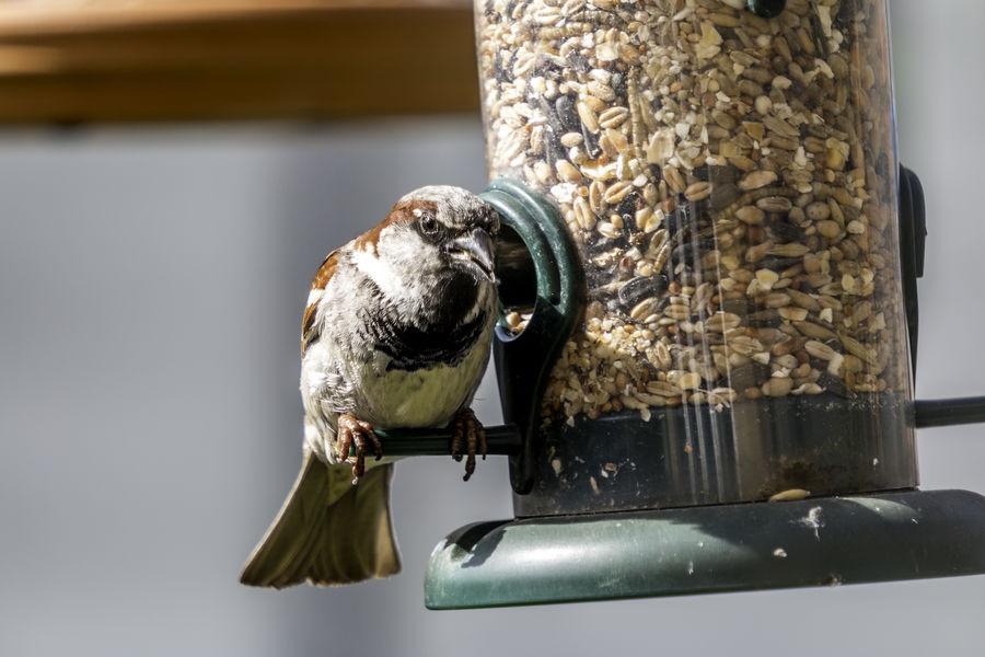 Feeding sparrow Animal Themes Bird Bird Feeder Bird Food Bird Seed Close-up Feeding  No People One Animal Perching Seed Sparrow Wildlife Zoology