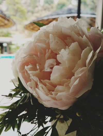 Summer Taking Photos Always Flower Naturelovers Athens, Greece EyeEm Nature Lover Peonies In Bloom Flower Head Flower Petal Close-up Plant Plant Life Blooming Cosmos Flower Botany Fragility