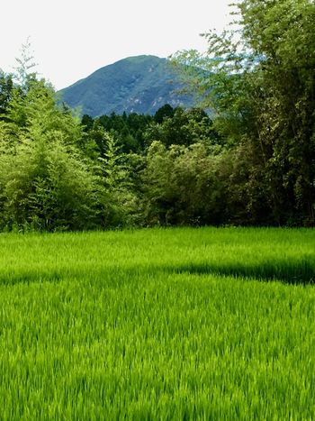 Subject: A Rural Scenery with a Paddy Field, a Forest and a Mountain. Green Color Tree Nature Grass Rural Scene Agriculture Field Lush Foliage Growth Plant No People Tranquil Scene Beauty In Nature Summer Outdoors Landscape Mountain Scenics Day . Taken in Higashi-Hiroshima , on Aug. 12, 2017 ( Submitted on Aug. 14, 2017 )