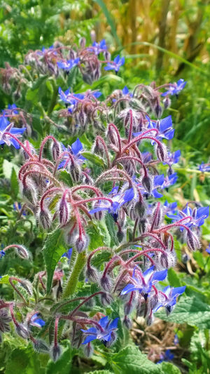 Borago officinalis, Borage Beauty In Nature Blooming Blue Close-up Day EyeEm Nature Lover Flower Flower Head Focus On Foreground Fragility Freshness Green Color Growth Leaf Nature Nature Nature_collection Outdoors Petal Plant Purple Selective Focus Stem Wild Plants