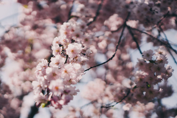 Japan Vscocam Sony Streetphotography Flowering Plant Flower Fragility Plant Freshness Beauty In Nature Vulnerability  Growth Blossom Springtime Tree Branch Cherry Blossom Close-up Day Nature No People Cherry Tree Pink Color Botany Outdoors Flower Head Pollen Spring Bunch Of Flowers