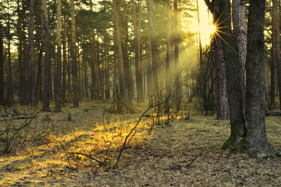 Spring Rays. Nikon Spring Nature Colors Russia Morning трава пейзаж краски  утро Rays Warm Sun Warm Light лучи тепло солнце теплый свет Tree Forest Sunlight WoodLand Grass Landscape