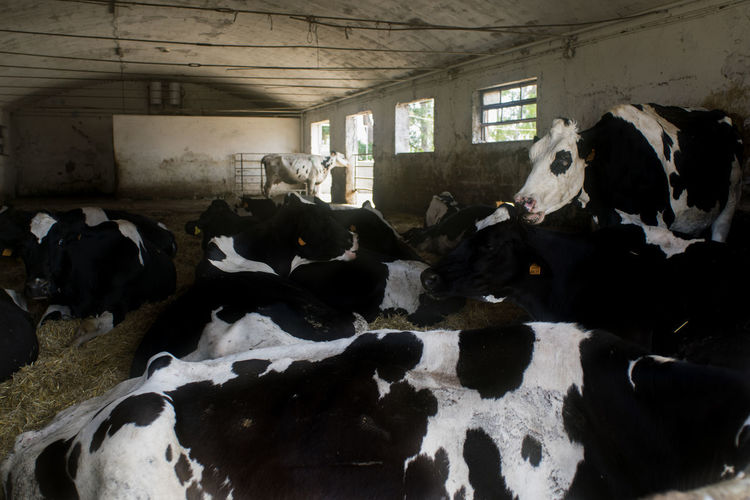 breed of dairy cattle Cattle Chianina Cows Dairy Farm Friesian Holstein Shed