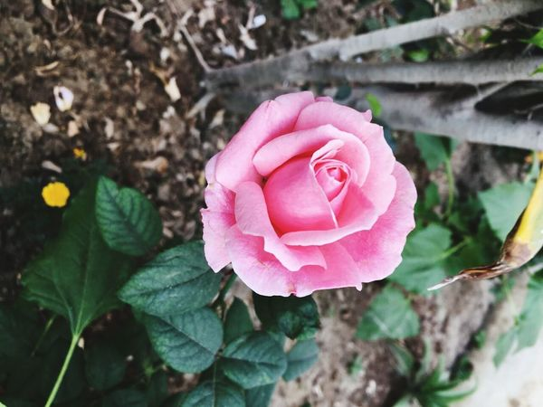 Fond of Roses 🌹 Flower Pink Color Beauty In Nature Flower Head Rose - Flower Nature Blooming Eye4photography  Beauty In Nature EyeEm Nature Lover FlowerLove 🌸 Day