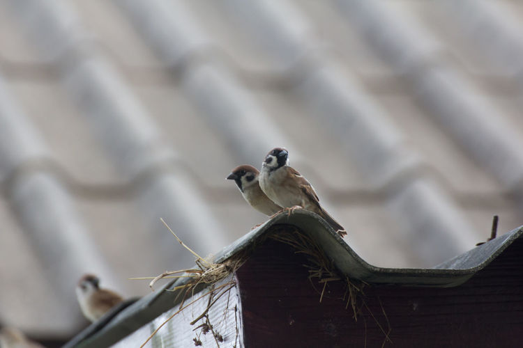 Low angle view of sparrows perching on roof