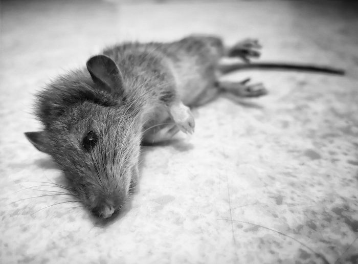 Mickey is dead... Mouse Mickey Mouse Rat Dead Animal Nuisible Pets Lying Down Portrait High Angle View Close-up