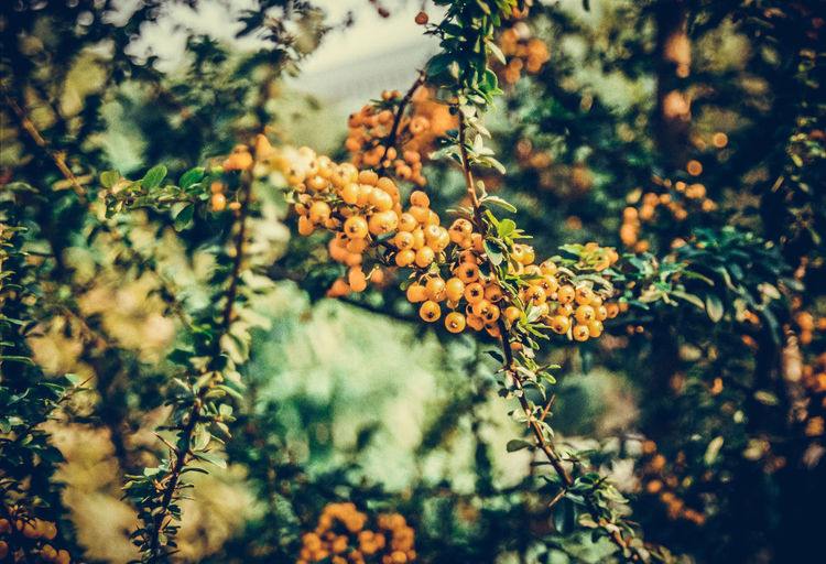 Cherries growing on plant