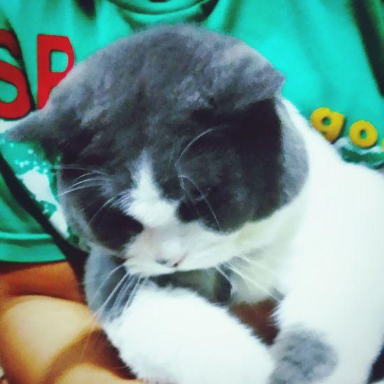 That's my lil darlin' SundayLilBrien Cats Catsoftheworld British Shorthair