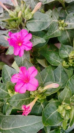 Pink Flower Green Background Pink Color SSClickpix SSClickPics SSClicks Ssclix Flower Periwinkle Pink Color Leaf Petal High Angle View Close-up Blooming Plant In Bloom Plant Life
