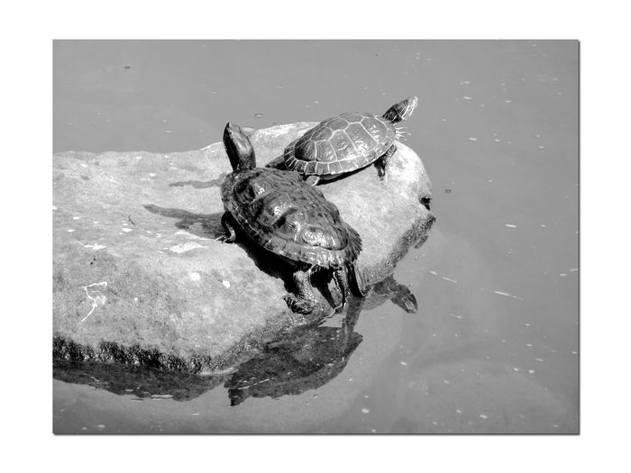 Turtles in a Pond 4 Red-eared Slider Reptilia Testudines Emydidae SemiAquatic Turtles Bnw_friday_eyeemchallenge Pond Water Hayward Japanese Tea Garden Rock Turtles Sunbathing Reflections In The Water Reflected Glory Reflections Monochrome Black & White Black And White Photography Black And White Black And White Collection  Most Popular Pet Turtle In U.S. Listed As Invasive Species