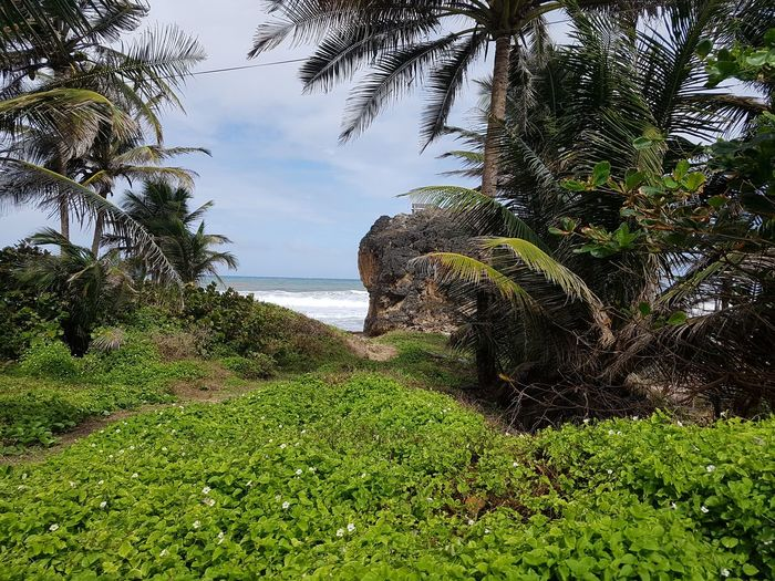 Palm Trees and Lush Green in Front of Rocks and Sea under Blue and cloudy Sky. .... Betterlandscapes Jurassic Park Gorgeous View Barbados EyeEm Selects Part Of Tree Beautiful Nature Beautiful Rock Formation Rock - Object Palm Tree Lush Foliage Landscape_Collection Water Green Color Grass Tree Nature Day Outdoors Growth Sea No People Beauty In Nature Sky Scenics Plant Vacations