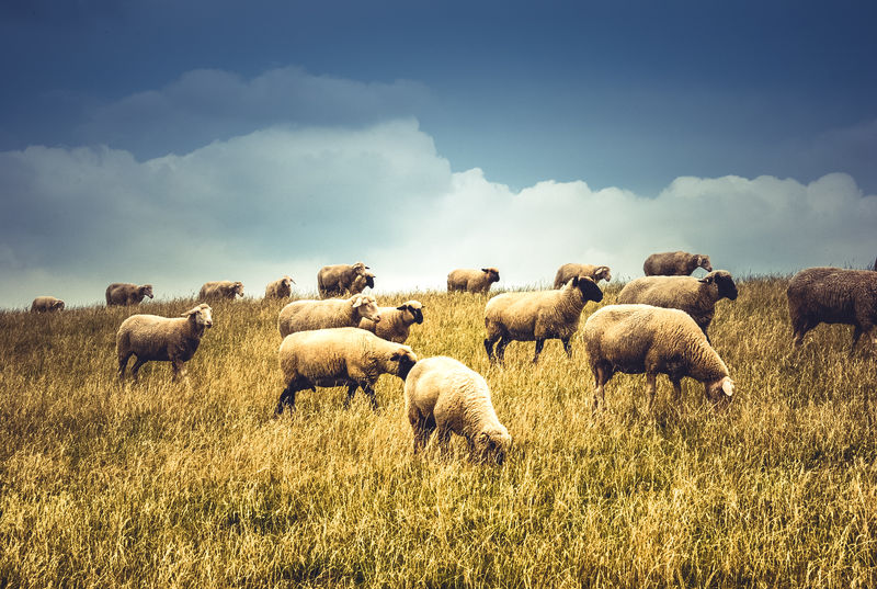 Animal Themes Beauty In Nature Cloud - Sky Day Flock Of Sheep Grass Grassy Grazing Landscape Luxmom Mammal Medium Group Of Animals Nature Sheep Sky Photography In Motion