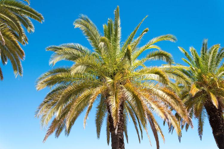 Tree Blue Palm